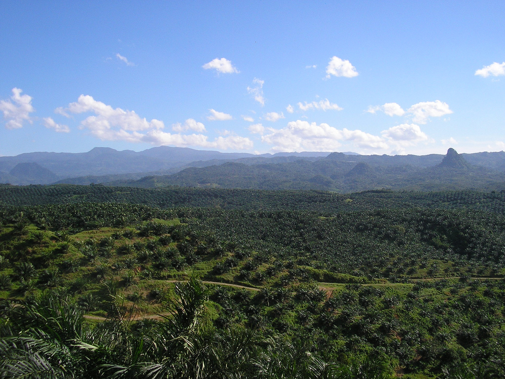 Oil_palm_plantation_in_Cigudeg-04